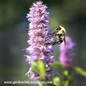 anise hyssop is loved by pollinators