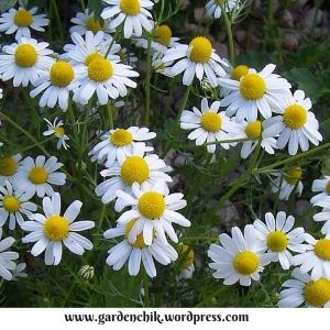 matricaria daisy