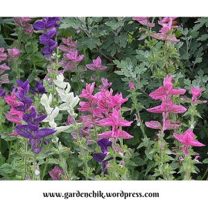 salvia horminium for pollinators
