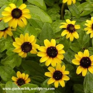 sanvitalia procumbens daisy