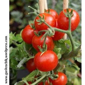 tasty-organic-cherry-tomatoes