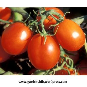 tasty-plum-tomatoes