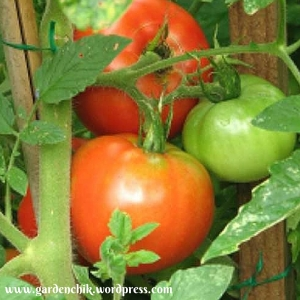 tomatoes-on-the-vine