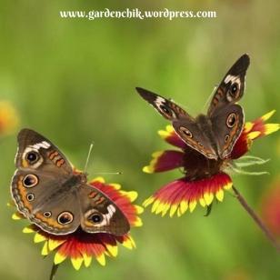 butterflies-on-gaillardia