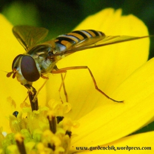 hoverflies-like-flowers-but-are-also-predators
