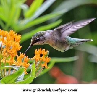 hummingbird-in-southern-oregon