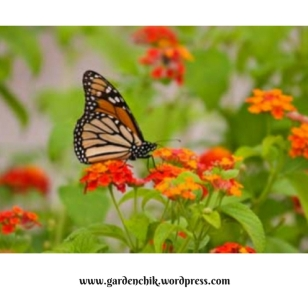 monarch-in-southern-oregon