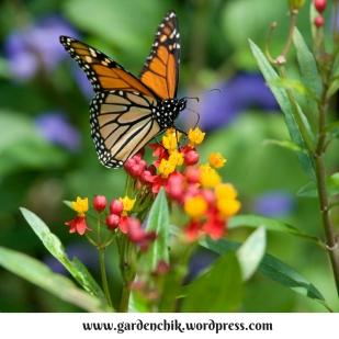 monarch-on-verbena