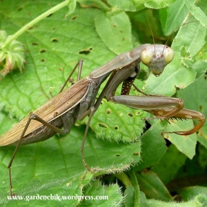 praying-mantids-are-the-best-form-of-natural-pest-control
