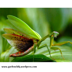 praying-mantis-are-not-only-great-pest-control-but-entertaining-as-well