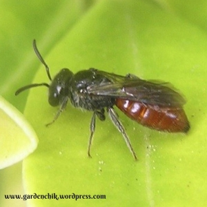 predatory-wasps-are-excellent-to-have-in-your-garden