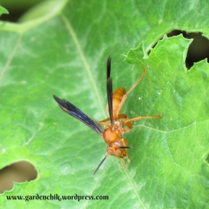 predatory-wasps-lay-eggs-on-garden-pests