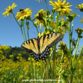 swallowtail-in-southern-oregon