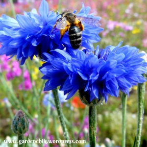 cornflowers-are-a-great-late-season-food-source-for-pollinators