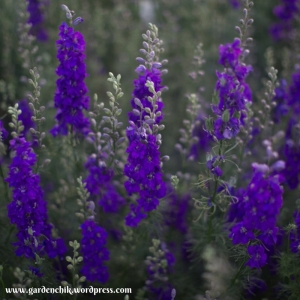 larkspur-makes-a-lovely-addition-to-the-fall-garden