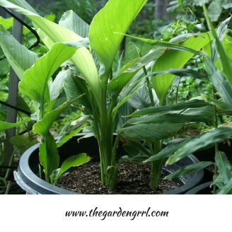 turmeric-is-easy-to-grow-in-containers