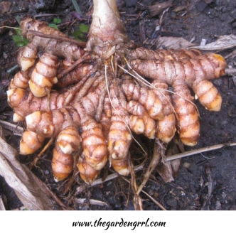 turmeric-is-so-easy-to-grow-a-good-harvest-is-almost-guaranteed